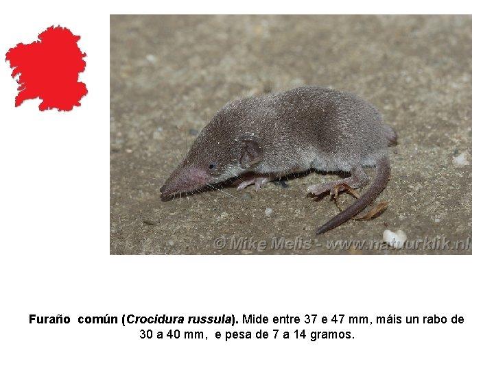 Furaño común (Crocidura russula). Mide entre 37 e 47 mm, máis un rabo de