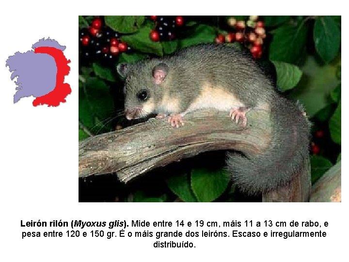 Leirón rilón (Myoxus glis). Mide entre 14 e 19 cm, máis 11 a 13