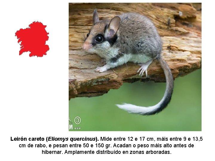 Leirón careto (Eliomys quercinus). Mide entre 12 e 17 cm, máis entre 9 e