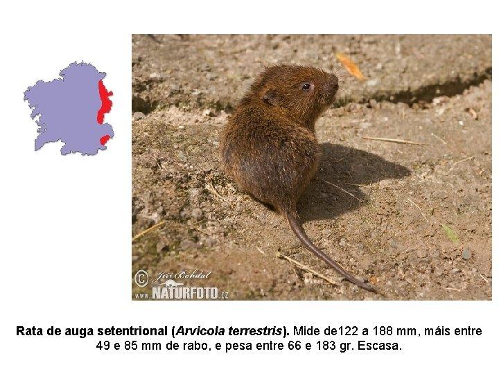 Rata de auga setentrional (Arvicola terrestris). Mide de 122 a 188 mm, máis entre