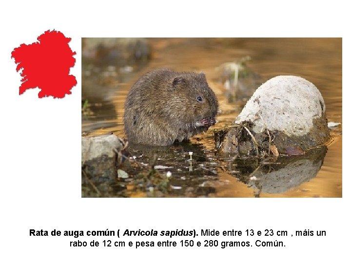 Rata de auga común ( Arvicola sapidus). Mide entre 13 e 23 cm ,