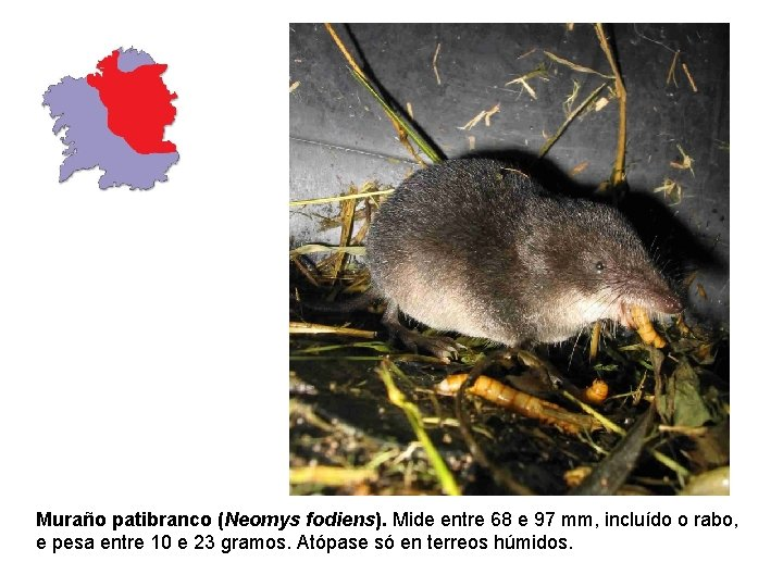 Muraño patibranco (Neomys fodiens). Mide entre 68 e 97 mm, incluído o rabo, e
