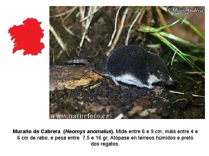 Muraño de Cabrera (Neomys anomalus). Mide entre 6 e 9 cm, máis entre 4