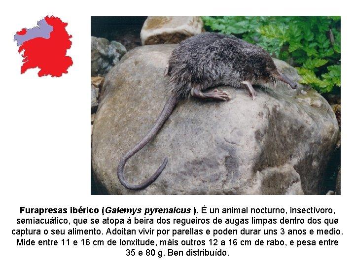 Furapresas ibérico (Galemys pyrenaicus ). É un animal nocturno, insectívoro, semiacuático, que se atopa