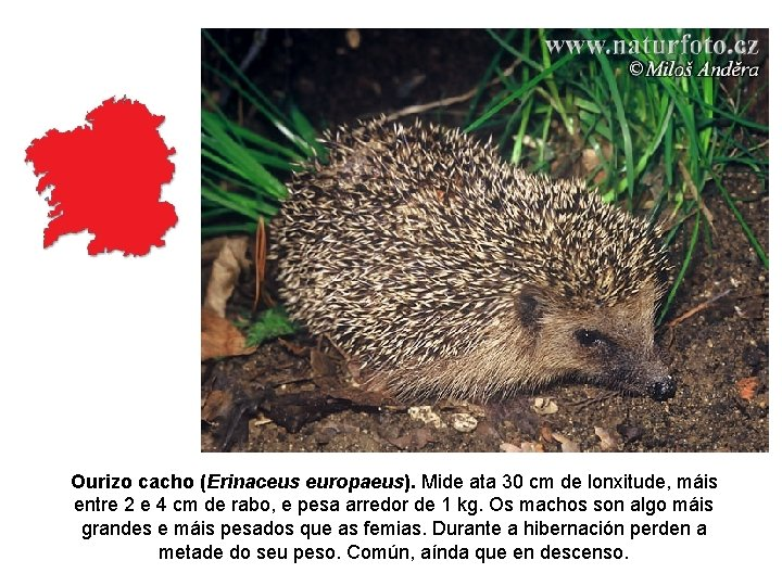 Ourizo cacho (Erinaceus europaeus). Mide ata 30 cm de lonxitude, máis entre 2 e