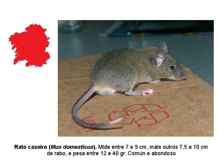 Rato caseiro (Mus domesticus). Mide entre 7 e 9 cm, máis outros 7, 5
