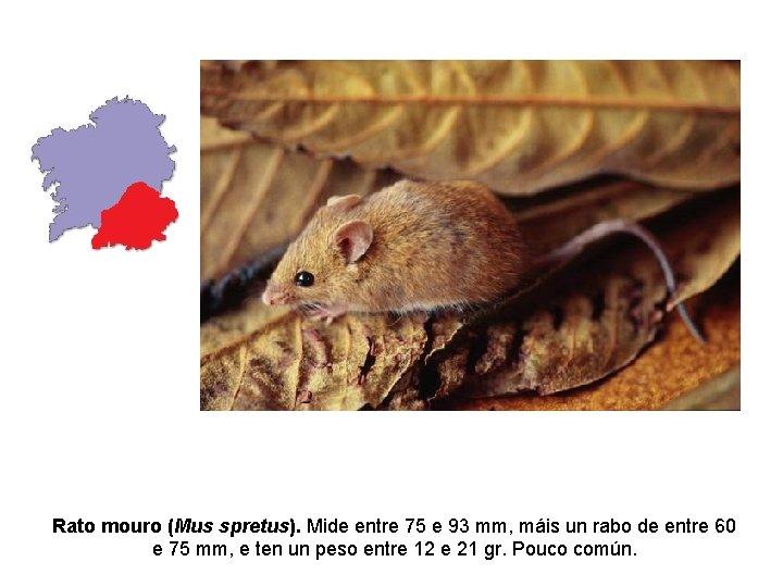 Rato mouro (Mus spretus). Mide entre 75 e 93 mm, máis un rabo de