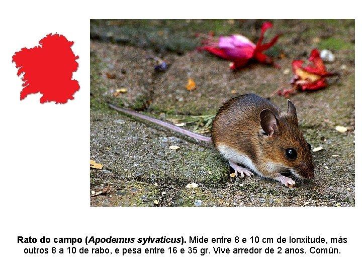 Rato do campo (Apodemus sylvaticus). Mide entre 8 e 10 cm de lonxitude, más