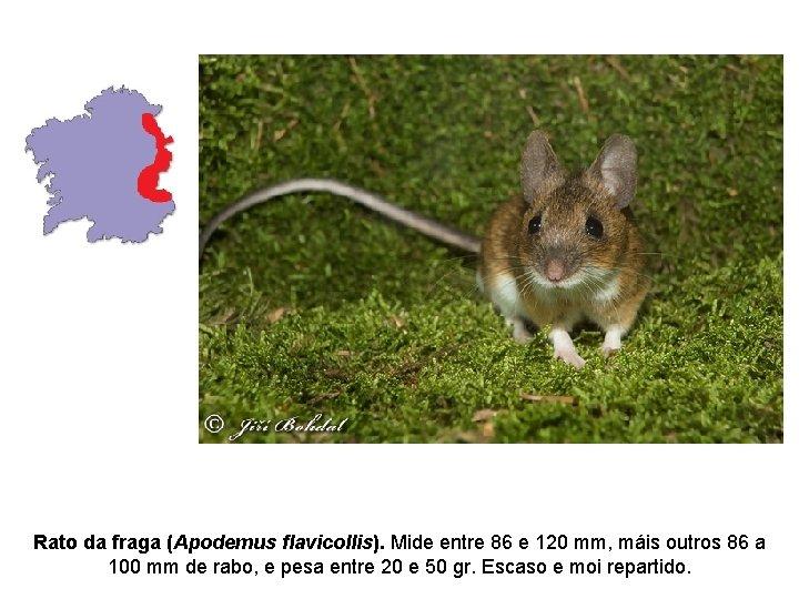 Rato da fraga (Apodemus flavicollis). Mide entre 86 e 120 mm, máis outros 86