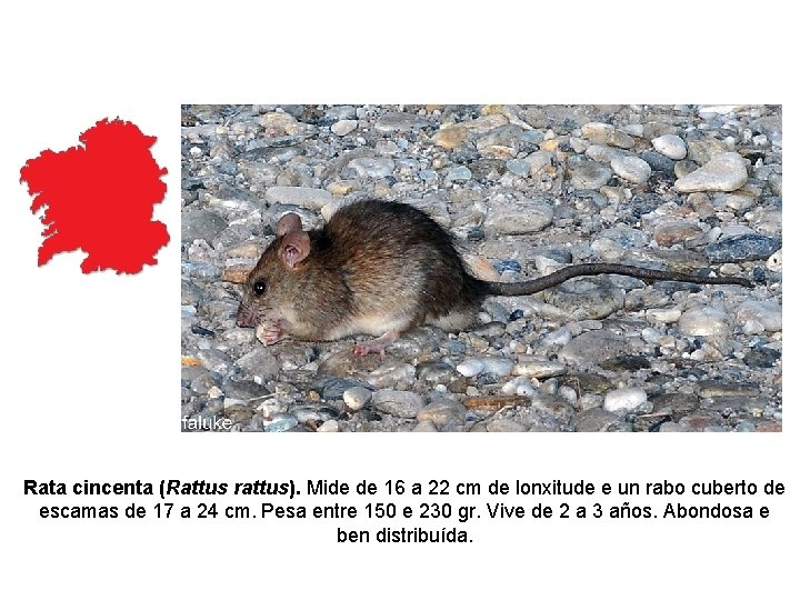 Rata cincenta (Rattus rattus). Mide de 16 a 22 cm de lonxitude e un