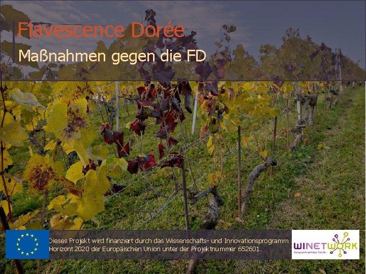 Flavescence Dorée Maßnahmen gegen die FD Dieses Projekt wird finanziert durch das Wissenschafts- und