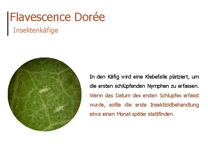 Flavescence Dorée Insektenkäfige In den Käfig wird eine Klebefalle platziert, um die ersten schlüpfenden