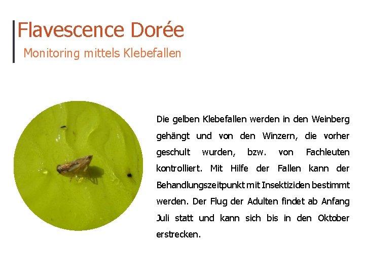 Flavescence Dorée Monitoring mittels Klebefallen Die gelben Klebefallen werden in den Weinberg gehängt und