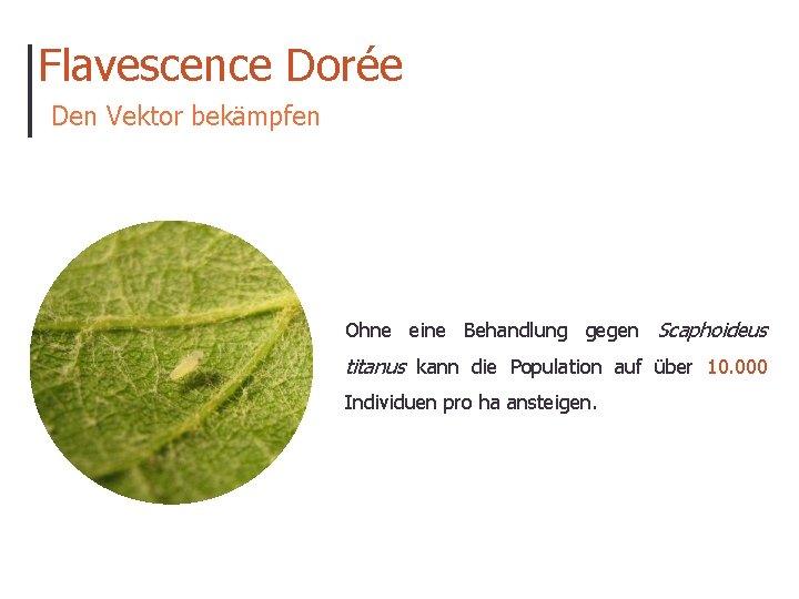Flavescence Dorée Den Vektor bekämpfen Ohne eine Behandlung gegen Scaphoideus titanus kann die Population