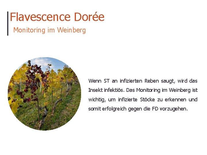 Flavescence Dorée Monitoring im Weinberg Wenn ST an infizierten Reben saugt, wird das Insekt