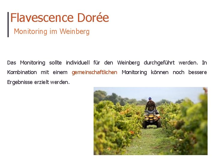 Flavescence Dorée Monitoring im Weinberg Das Monitoring sollte individuell für den Weinberg durchgeführt werden.