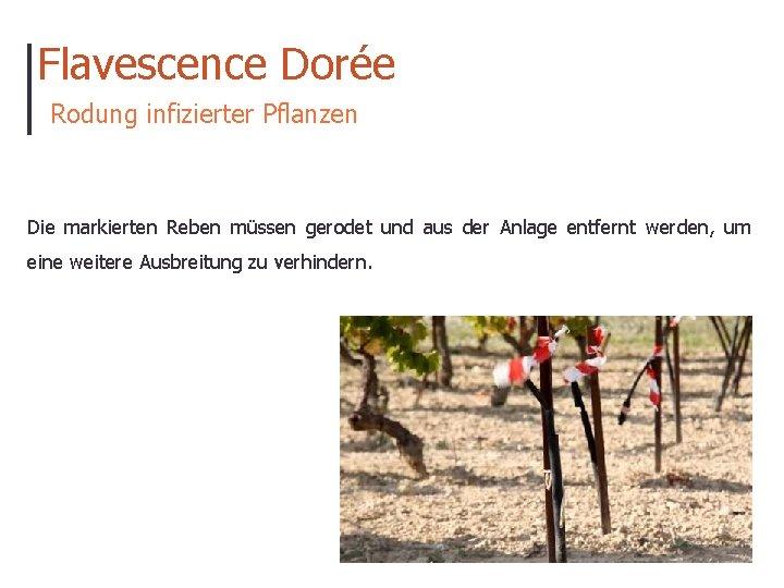 Flavescence Dorée Rodung infizierter Pflanzen Die markierten Reben müssen gerodet und aus der Anlage