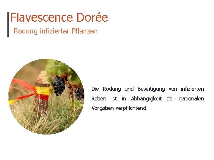 Flavescence Dorée Rodung infizierter Pflanzen Die Rodung und Beseitigung von infizierten Reben ist in