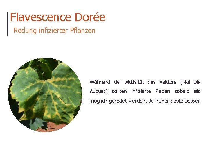 Flavescence Dorée Rodung infizierter Pflanzen Während der Aktivität des Vektors (Mai bis August) sollten