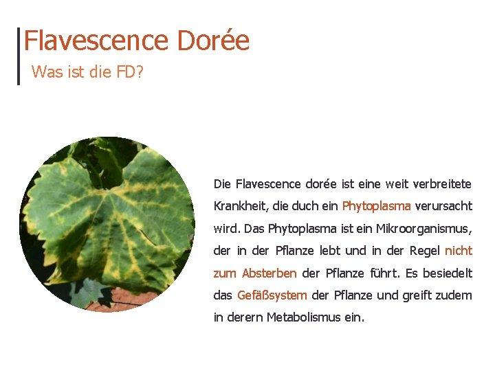 Flavescence Dorée Was ist die FD? Die Flavescence dorée ist eine weit verbreitete Krankheit,
