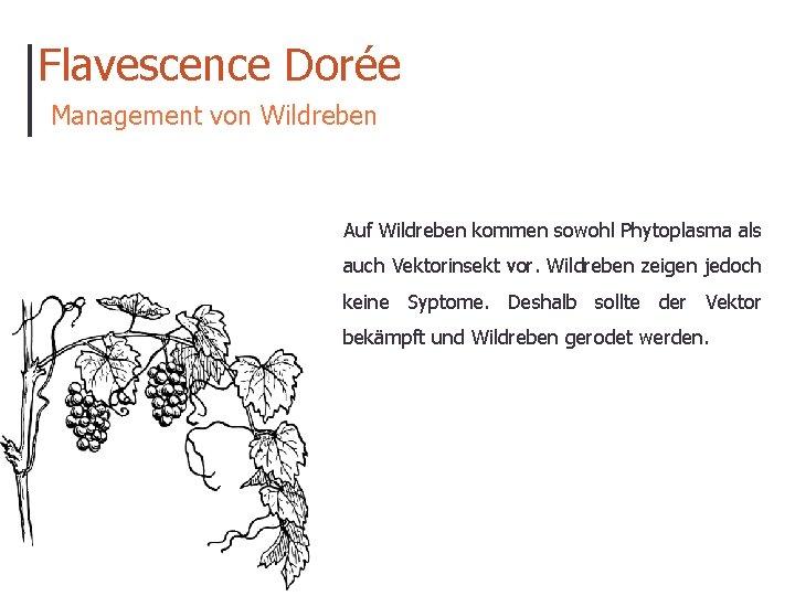 Flavescence Dorée Management von Wildreben Auf Wildreben kommen sowohl Phytoplasma als auch Vektorinsekt vor.