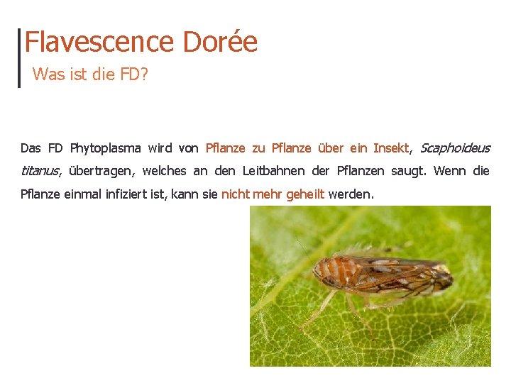 Flavescence Dorée Was ist die FD? Das FD Phytoplasma wird von Pflanze zu Pflanze