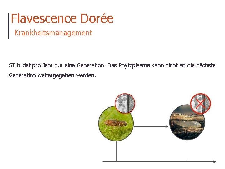 Flavescence Dorée Krankheitsmanagement ST bildet pro Jahr nur eine Generation. Das Phytoplasma kann nicht