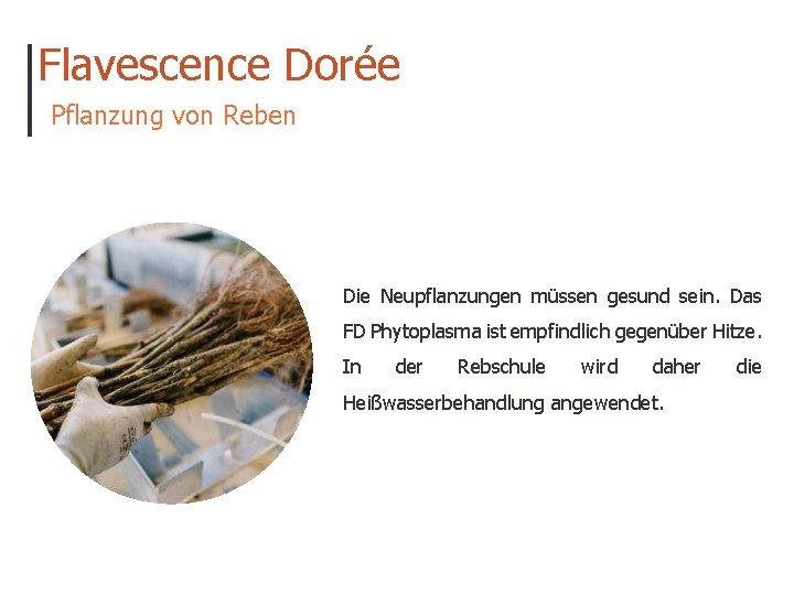 Flavescence Dorée Pflanzung von Reben Die Neupflanzungen müssen gesund sein. Das FD Phytoplasma ist