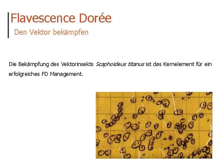 Flavescence Dorée Den Vektor bekämpfen Die Bekämpfung des Vektorinsekts Scaphoideus titanus ist das Kernelement