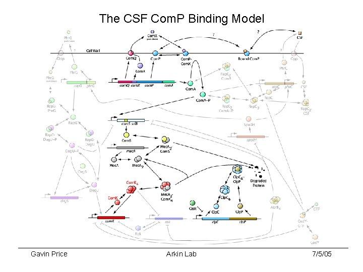 The CSF Com. P Binding Model Gavin Price Arkin Lab 7/5/05