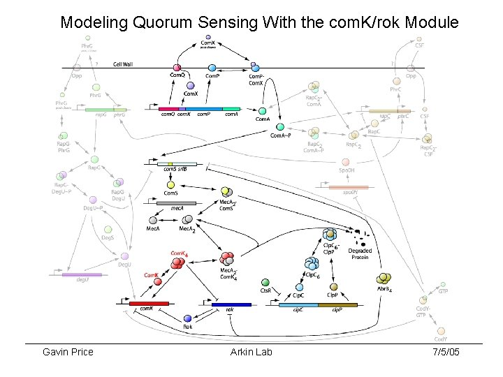 Modeling Quorum Sensing With the com. K/rok Module Gavin Price Arkin Lab 7/5/05