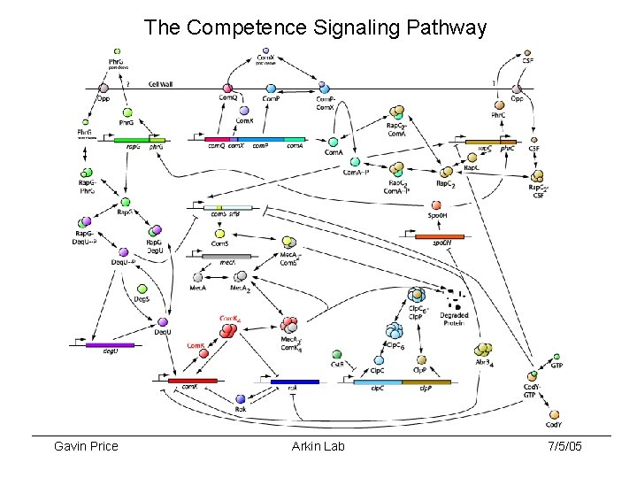The Competence Signaling Pathway Gavin Price Arkin Lab 7/5/05