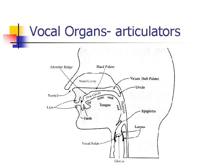 Vocal Organs- articulators