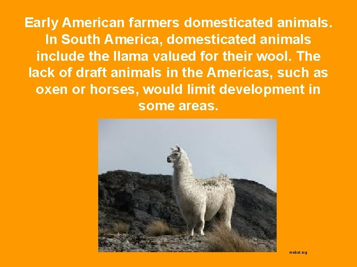 Early American farmers domesticated animals. In South America, domesticated animals include the llama valued