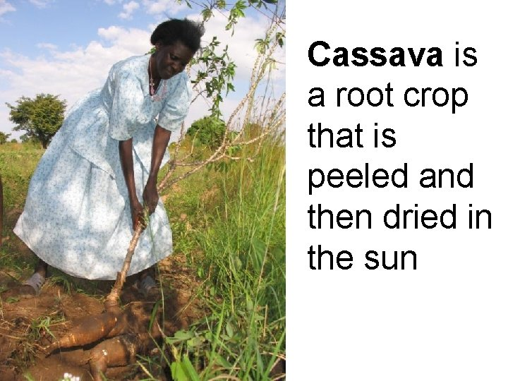 Cassava is a root crop that is peeled and then dried in the sun