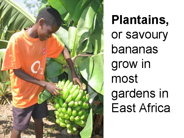 Plantains, or savoury bananas grow in most gardens in East Africa