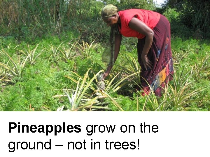 Pineapples grow on the ground – not in trees!