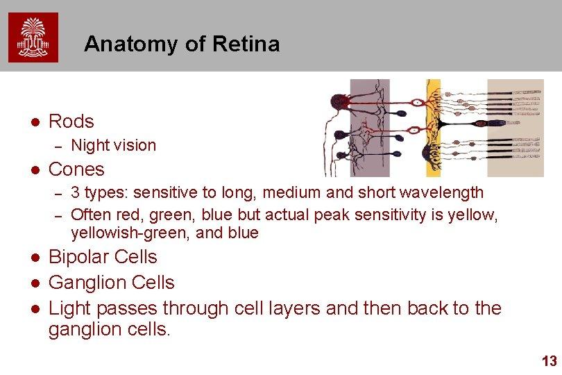 Anatomy of Retina l Rods – l Cones – – l l l Night