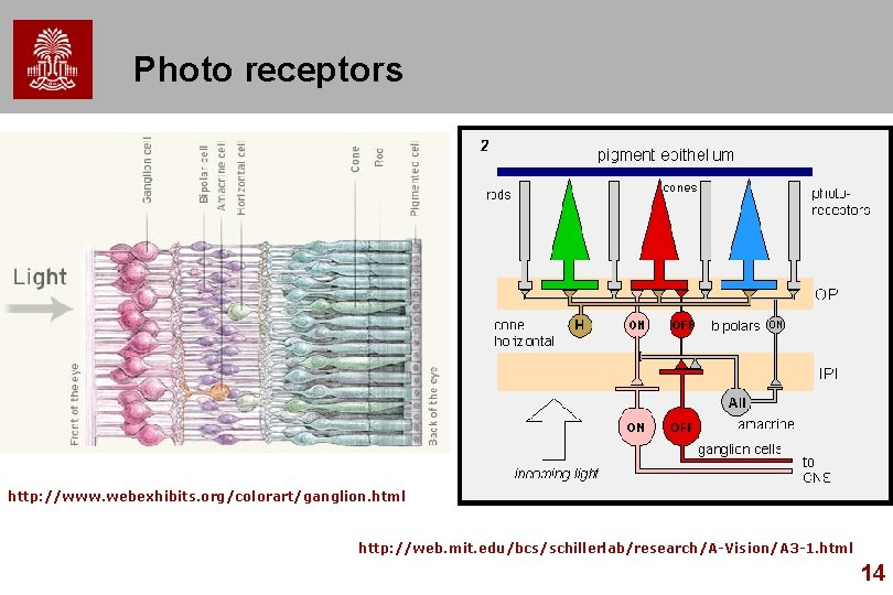 Photo receptors http: //www. webexhibits. org/colorart/ganglion. html http: //web. mit. edu/bcs/schillerlab/research/A-Vision/A 3 -1. html