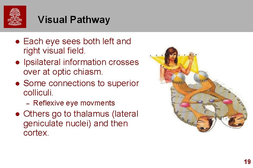 Visual Pathway l l l Each eye sees both left and right visual field.