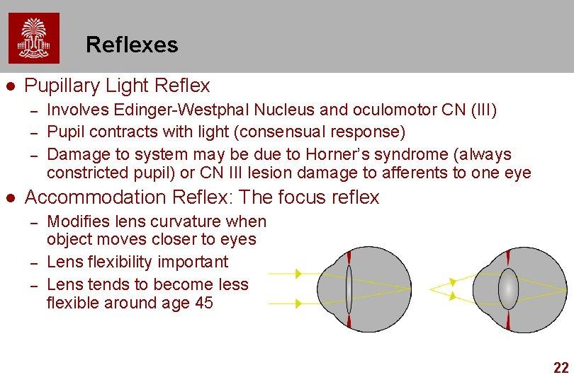 Reflexes l Pupillary Light Reflex – – – l Involves Edinger-Westphal Nucleus and oculomotor