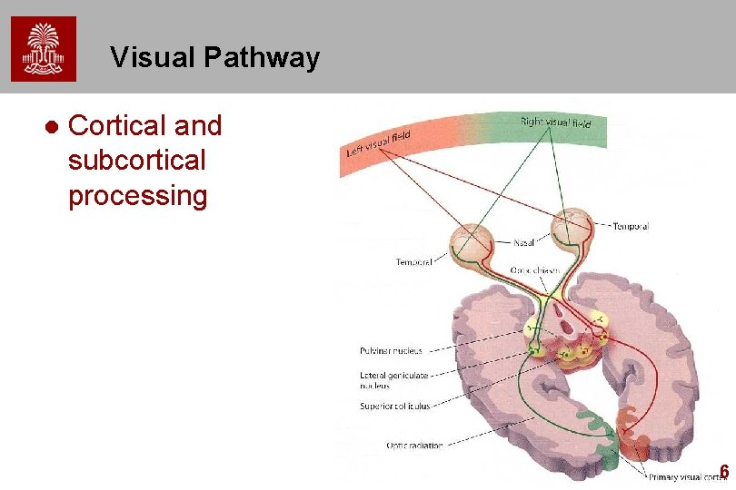 Visual Pathway l Cortical and subcortical processing 6