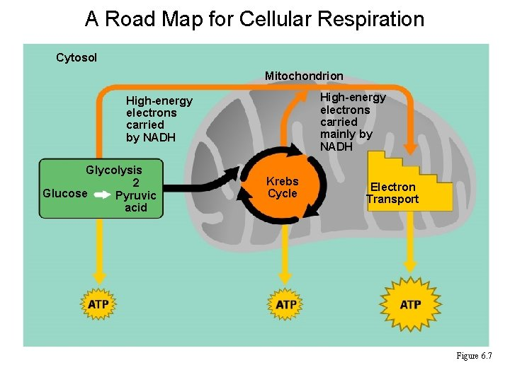 A Road Map for Cellular Respiration Cytosol Mitochondrion High-energy electrons carried mainly by NADH