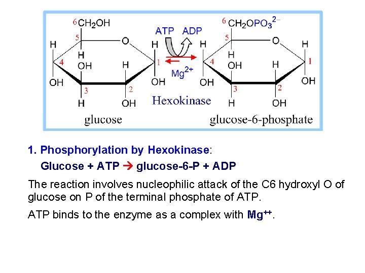 1. Phosphorylation by Hexokinase: Glucose + ATP glucose-6 -P + ADP The reaction involves