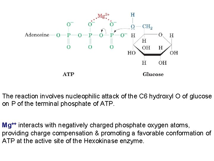 The reaction involves nucleophilic attack of the C 6 hydroxyl O of glucose on