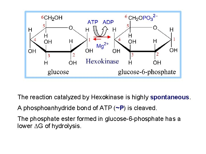 The reaction catalyzed by Hexokinase is highly spontaneous. A phosphoanhydride bond of ATP (~P)