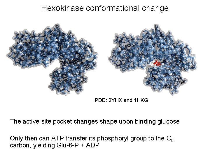 Hexokinase conformational change PDB: 2 YHX and 1 HKG The active site pocket changes
