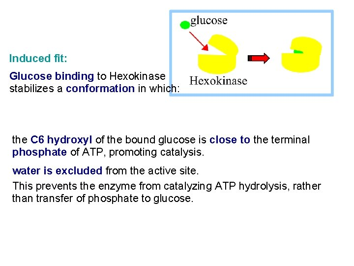 Induced fit: Glucose binding to Hexokinase stabilizes a conformation in which: the C 6