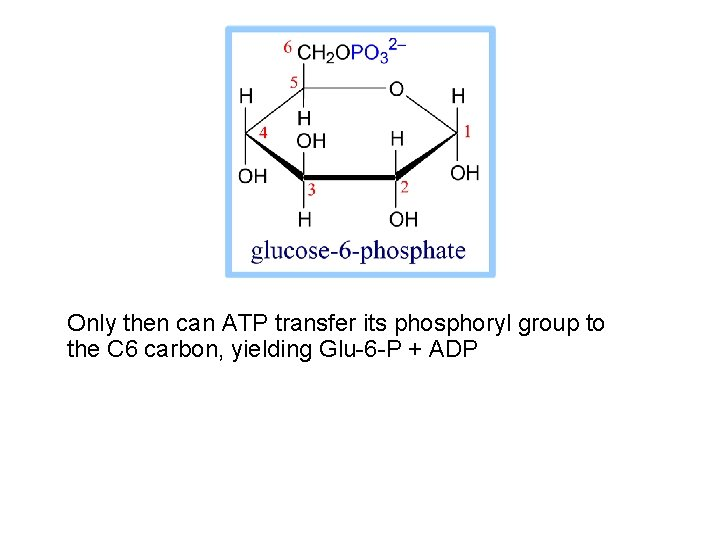 Only then can ATP transfer its phosphoryl group to the C 6 carbon, yielding