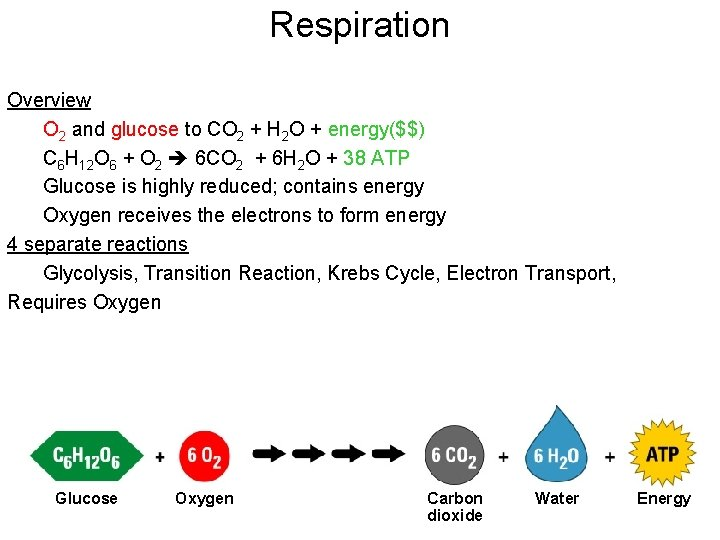 Respiration Overview O 2 and glucose to CO 2 + H 2 O +